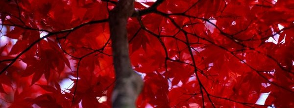 red-leaves-petteway_1505_600x450